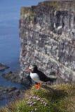 λ puffin trabjarg Στοκ φωτογραφία με δικαίωμα ελεύθερης χρήσης
