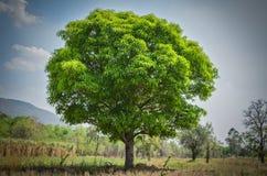 Μάγκο δέντρων με τη νέα αύξηση φύλλων Στοκ φωτογραφία με δικαίωμα ελεύθερης χρήσης
