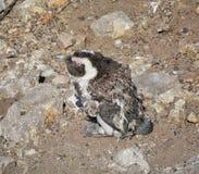 Μάδημα αφρικανικό Penguin Στοκ εικόνες με δικαίωμα ελεύθερης χρήσης