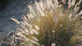 Μάζα διακοσμητικών bunchgrass, ανθίσεις Pennisetum alopecuroides Στοκ Εικόνες