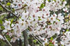 Μάζα των άσπρων ανθών κερασιών στο δέντρο στην Ιαπωνία στοκ φωτογραφία με δικαίωμα ελεύθερης χρήσης