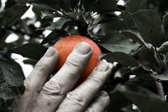 μάζεμα με το χέρι μήλων στοκ εικόνες