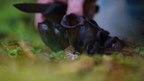 Μάζεμα με το χέρι του κέρατου των μαύρων μανιταριών σαλπίγγων αφθονίας απόθεμα βίντεο