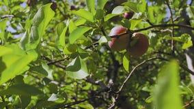 Μάζεμα με το χέρι του μήλου από τον κλάδο οπωρωφόρων δέντρων στον οπωρώνα απόθεμα βίντεο