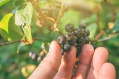 Μάζεμα με το χέρι των ώριμων φρούτων μούρων aronia από τον κλάδο Στοκ φωτογραφίες με δικαίωμα ελεύθερης χρήσης