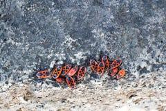Μάζες firebug σε μια πέτρα Στοκ Εικόνα