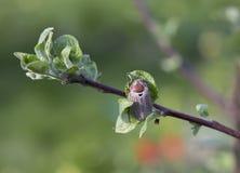 Μάιος-ζωύφιο σε έναν κλάδο ενός δέντρου της Apple Στοκ Εικόνες