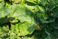 Μάλλινο Burdock Arctium Tomentosum Στοκ Εικόνα