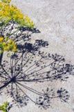 Μάραθο Στοκ φωτογραφία με δικαίωμα ελεύθερης χρήσης