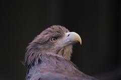 Μάτια αετών Στοκ εικόνα με δικαίωμα ελεύθερης χρήσης