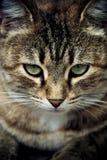 Μάτια γάτας Στοκ Φωτογραφία