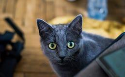Μάτια γατών που κοιτάζουν επίμονα σε σας Στοκ Φωτογραφίες