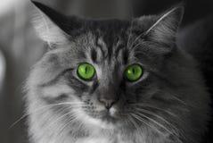 μάτια γατών πράσινα Στοκ Εικόνα