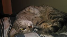 Μάτια γατών Στοκ Εικόνα