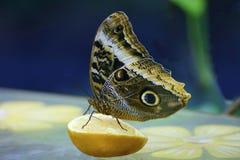 Μάτια κουκουβαγιών πεταλούδων Στοκ φωτογραφία με δικαίωμα ελεύθερης χρήσης