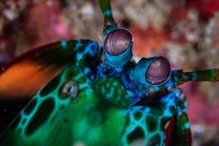 Μάτια μιας γαρίδας Peacock Mantis Στοκ φωτογραφία με δικαίωμα ελεύθερης χρήσης