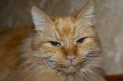Μάτια που στενεύουν, υπόλοιπο, τεμπελιά γατών στοκ εικόνες