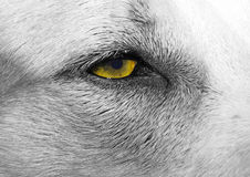 μάτια σκυλιών Στοκ Φωτογραφία