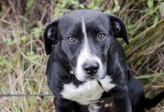 Μάτια σκυλιών Saad, μαύρο σκυλί φυλής του Λαμπραντόρ μικτό κυνηγόσκυλο στοκ φωτογραφία