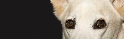 Μάτια σκυλιών Στοκ εικόνες με δικαίωμα ελεύθερης χρήσης