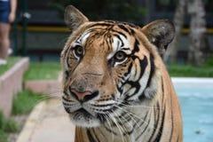 Μάτια τιγρών Στοκ Εικόνες