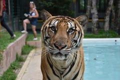 Μάτια τιγρών Στοκ Φωτογραφίες
