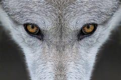 Μάτια λύκων Στοκ φωτογραφία με δικαίωμα ελεύθερης χρήσης