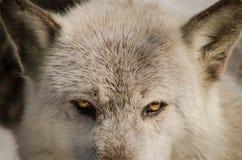 Μάτια λύκων Στοκ Φωτογραφίες