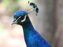Μάτια Peacock Στοκ εικόνα με δικαίωμα ελεύθερης χρήσης