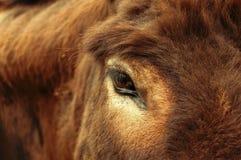 μάτι αγελάδων Στοκ Εικόνα