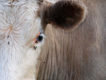 μάτι αγελάδων Στοκ εικόνες με δικαίωμα ελεύθερης χρήσης