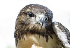 Μάτι αετών, κόκκινο παρακολουθημένο σχεδιάγραμμα γερακιών Στοκ φωτογραφία με δικαίωμα ελεύθερης χρήσης