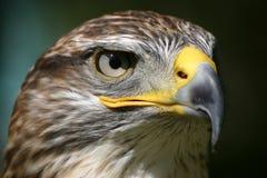 μάτι αετών Στοκ Εικόνες