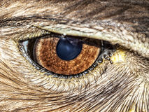 Μάτι αετών Στοκ Φωτογραφία