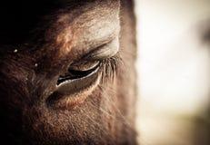 Μάτι αλόγων Στοκ Εικόνες