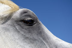 Μάτι αλόγων Στοκ Φωτογραφίες