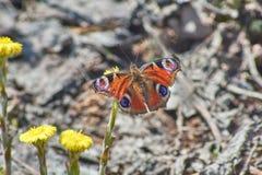 Μάτι ημέρας πεταλούδων peacock Στοκ Φωτογραφία