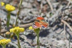 Μάτι ημέρας πεταλούδων peacock Στοκ φωτογραφίες με δικαίωμα ελεύθερης χρήσης