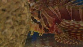 Μάτι και στόμα Lionfish απόθεμα βίντεο
