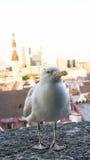 Μάτι καρτών πουλιών γλάρων Στοκ Φωτογραφία