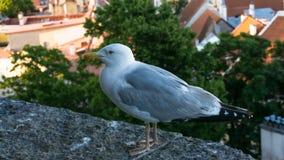 Μάτι καρτών πουλιών γλάρων Στοκ Εικόνες