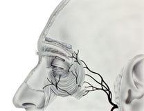 Μάτι - κεντρικοί μυ'ες και νεύρα Στοκ φωτογραφίες με δικαίωμα ελεύθερης χρήσης
