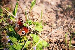 Μάτι πεταλούδων peacock στη χλόη Στοκ Εικόνες