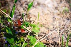 Μάτι πεταλούδων peacock στη χλόη Στοκ Φωτογραφίες