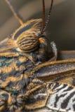 Μάτι πεταλούδων Στοκ Εικόνες