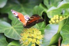 Μάτι πεταλούδων peacock Στοκ εικόνα με δικαίωμα ελεύθερης χρήσης