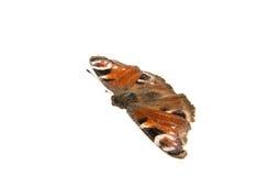 Μάτι πεταλούδων peacock Στοκ Εικόνες
