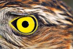 Πουλιά της Ευρώπης και του κόσμου - σπουργίτι-γεράκι Στοκ Φωτογραφία