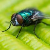 Μάτι στο μάτι μύγα Στοκ Φωτογραφία