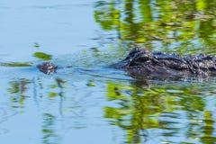 Μάτι στο μάτι με το Gator στοκ εικόνα με δικαίωμα ελεύθερης χρήσης